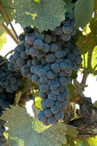 Mourvedre[1]