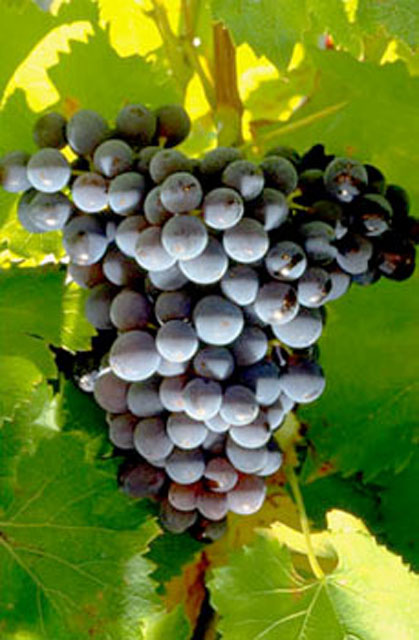 big_red_grenache_grapes[1]