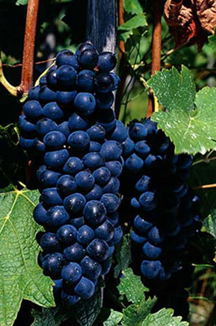 big_red_syrah_shiraz_grapes[2]